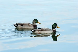 ducks_Lake_Mendota10_6544