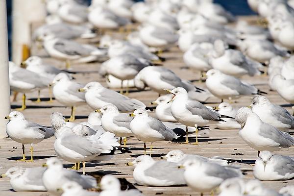 seagulls_pier_lake11_4739