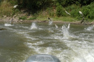 Silver carp jumping out of river from stimulation by boat motor.